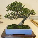 Cotoneaster (cotoneaster microphyllus) di Adriano Nalon