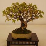 Acero tridente (Acer buergerianum) di Piero Cantù
