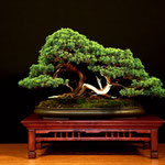 3° PREMIO - Ginepro > Bonsai Do Groane