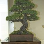 Pino bianco giapponese (pinus parviflora) di Giuseppe Giovanelli