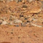 Otarda del Karoo