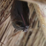 Pipistrello - Artibeus Jamaicensis