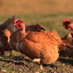 Pollo Rosso a Collo Nudo