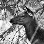 Cervo Mulo