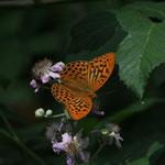 Argynnis Latonia