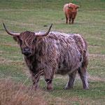 Vacca Highlander
