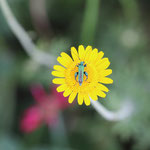 Coleottero Oedemeridae