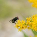 Fliege auf kanadischer Goldrute