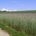Rolipa-Feld im Mai: die Anthocyan-Färbung in den Ähren ist gut sichtbar.