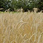 Rolipa-Feld im Juli