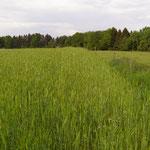 11. Mai: Dasypyrum-Feld, beim Ährenschieben