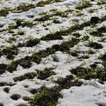 Dasypyrum-Feldbestand am 4. Dezember