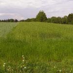11. Mai: Dasypyrum-Feld
