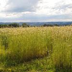 Am Dasypyrum-Zuchtgarten (im Roggenfeld, ganz links), 18. Juni, eine Woche nach der stärksten Blüte.