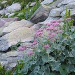 Adénostyle à feuilles d'Alliaire