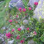Rhododendron ferrugineux