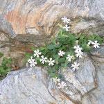 Silène Cordifolia