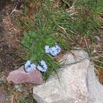 Myosotis des Alpes