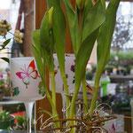 Tulpen mit Zwiebel