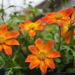 Bidens, orange -  Pflanze des Jahres 2016