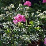 Euphorbia mit Geranien
