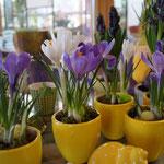 Crocus als Frühlingsbote