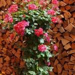 Geranienhochstamm in rosa