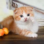 Шотландский котенок :  котик Виконт- шотландский вислоухий (скоттиш фолд), окрас красный мраморный с белым