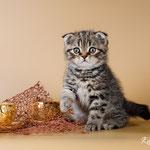 Шотландский котенок:  котик Велес - шотландский вислоухий (скоттиш фолд), окрас черный пятнистый (браун)