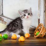 Шотландский котенок :  котик Вермут - шотландский короткошестный (скоттиш страйт), окрас черный пятнистый с белым и  серебристым подшерстком