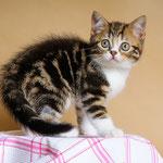 Котенок шотландский скоттиш страйт окрас мраморный с белым