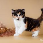 Шотландский котенок :  кошечка Виола-  шотландская короткошестная (скоттиш страйт), окрас калико  (черный черепаховый с белым)