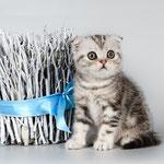 Шотландский котенок :  котик Вольтер - шотландский вислоухий (скоттиш фолд), окрас черный мраморный с серебристым подшерстком