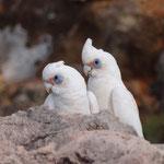 Kakadu-ähnliche Vögel im NP