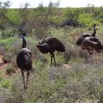 Emu Familie ausserhalb Exmouth