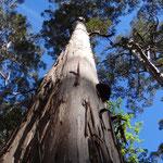 Die hohen Karri-Bäume