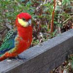 Bunter Paradiesvogel