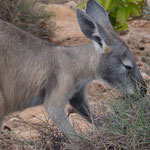 Im Cape Range National Park: Black footed Wallaby