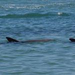 Delfine kommen täglich ans Ufer in Monkey MIA