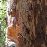 Roger auf dem hohen Gloucster Tree, lässt die steile Besteigung dann aber doch sein.
