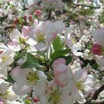 Apfelblüte im LandIdee Garten