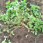 ラッカセイも、すぐにむしらずにまずは観察。茎や葉は大事な緑肥になります。捨てるところなし。