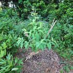 相模湖の「すどう農園」でまずは種をまいて育てた苗を、こうして定植しました。
