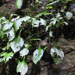 ⑤イワタバコ 水辺の崖に生えています。たっぷり潤んだ空気が好きなので、こうした場所を好むのでしょう。苔と同じように、乾いた場所では難しそう。ケヤキの葉を日対象にしたような形が特徴