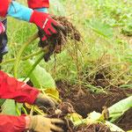 中秋の名月にあわせて、サトイモの収穫。もっと待ってじっくり太らせたいので、全部は掘りません。