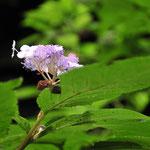 ④タマアジサイの咲いたところです。花姿も健気ですね。