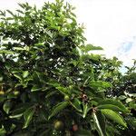 一本の木から30キロは収穫できます。