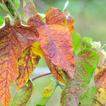山芋の葉も紅葉するのです。二年物の太いイモを掘り出すのは農学校の年中行事。ハマります。