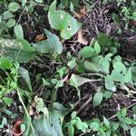 ⑬ウルイ(オオバギボウシ) 有名な山菜です。これは美味しい。ヨモギの杜にも昨年定植したので、来年は増えるはず