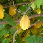 Star Fruit frisch vom Baum